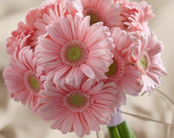 ADGRO) ROYAL PEACHY-Pink Gerbera Daisy~Seed!!~~~~~~~~Superior Color!!!