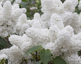 TSL) WHITE LILAC~Seeds!!!!!!~~~~~A Vision in White!