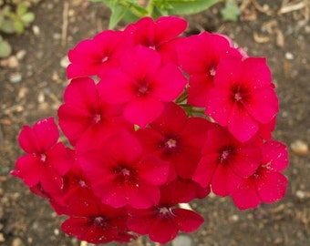 PBPHD)~RED PHLOX Drummondii~Seeds!!!!~~~Luscious Shorties!