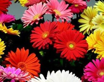 ADGF)~FESTIVAL MIX Gerbera Daisy~Seed!!!!~~~~~~A Bright Rainbow!