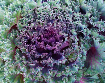 Ornamental Kale Giclee Print, Kitchen Art, Garden Print, Botanical Print, Macro Photography, Purple, Green, Home Decor, Wall Art