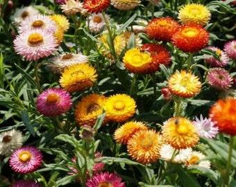 Strawflower - Tom Thumb Mix (Dwarf) - 200 Seeds