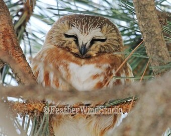 Northern Saw Whet Owl Print | Sleeping Bird | Owl In Pine Tree | Nature Photography | Hotel Wall Lobby Art | Nursery Kids Decor | Owl Print