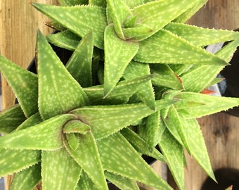 Succulent Plant Large Gasteraloe Green Gold. A beautifully colored plant in bright green with heavily variegated gold.