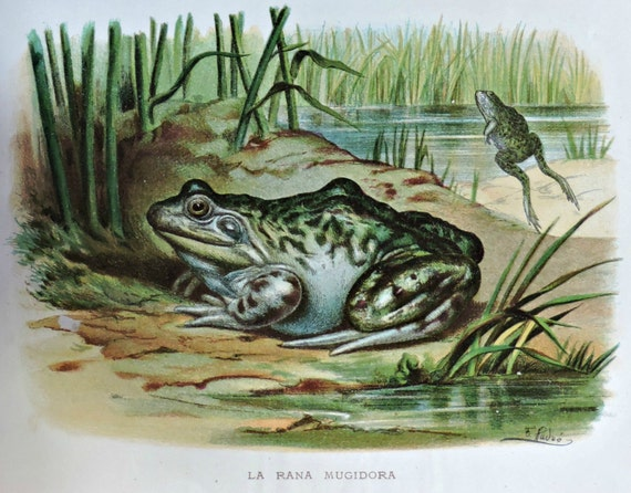 The American bullfrog and the common frog engraving. Amphibian.  Antique illustration 135 years old. 1881 lithograph. 8'46 x 12'05 inches.