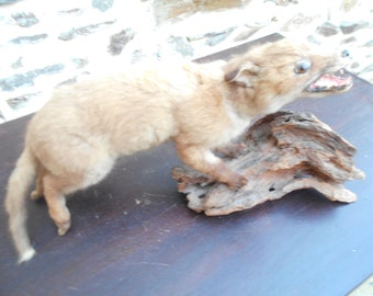 Lovely French vintage taxidermy French Mongoose
