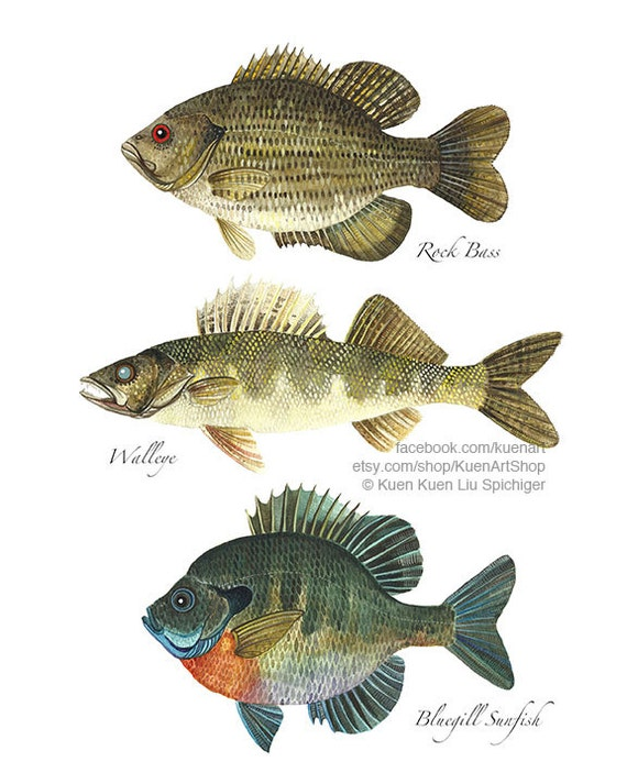 Freshwater sunfish images galleries for Rock bass fish