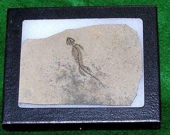 Fossil Branchiosaur; AMPHIBIAN