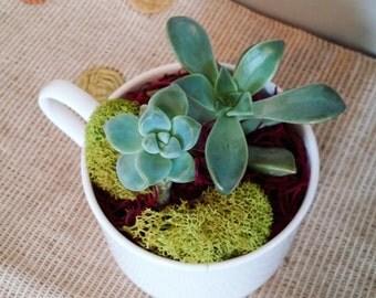 Succulent Teacups, succulents, indoor plants, indoor planter