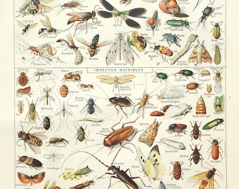 1922 insects print - Chromolithograph, bugs, natural history, biology, entymology wall decor - 95 years old French illustration (C502)