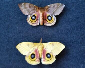 Real Io Moth Pair