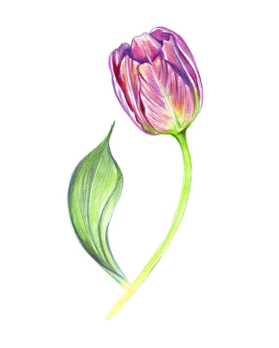 purple painted tulip colored drawing flower art handmade drawing colored pencils tulip drawing pencils realistic flower drawing tulips