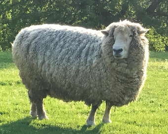 "Romney Sheep White Wool Fleece - 8.4 lbs - Natural Raw Fleece - White and Creamy - A True ""Farm to Fiber"" Product"
