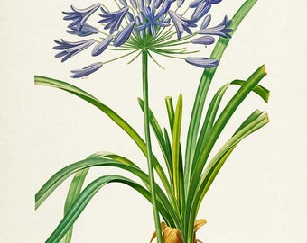 Lily of the Nile Flower Art Print, African Lily Botanical Art Print, Flower Wall Art Print, Floral, Redoute, purple, Agapanthus umbellatus