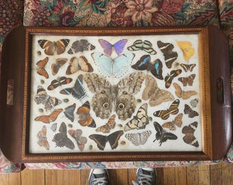"25""x15"" Awesome Taxidermy in a Tray Butterflies, Beetles and Moths Oh My!"