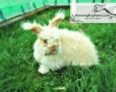Cruelty Free Rabbit Wool Spinning Fibers Natural Raw Chocolate Tort English Angora Rabbit Fur Hair Pure Spinning Wool from Bunji / 1 Ounce