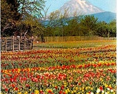 Vintage Washington State Postcard - Tulip Fields in the Puyallup Valley and Mount Rainier (Unused)