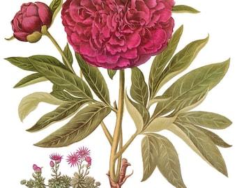 antique botanical print paeonia polyanthos illustration peony digital download
