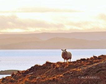 Country Home Decor, Sheep Photography, Country Wall Decor, Sheep Art, Scotland, Sheep Print, Animal Art, Country Wall Art - Sunset Glow