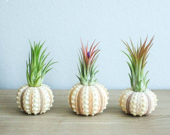 Air Plant Container - Set of 3 Sputnik Urchins with Ionantha Air Plants - Fast FREE Shipping - 30 Day Guarantee - Air Plant Display Holder
