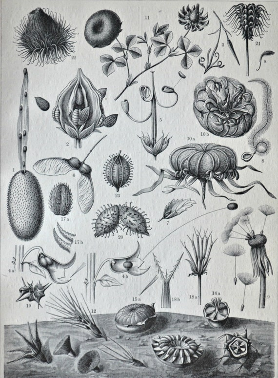 Seeds. Natural sowing. Botany print. Old book plate, 1904. Antique  illustration. 112 years lithograph. 9'6 x 6'2 inches.