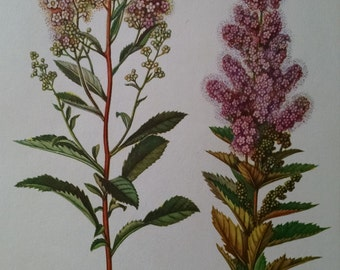 Meadowsweet and steeplebush, antique botanical litho print, 1954