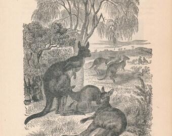 1887 Kangaroos Antique Print