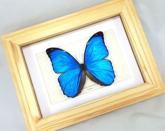 FREE SHIPPING Real Framed Blue Morpho Menelaus A-/A2 Quality Unique Butterfly Framed Taxidermy Mounted Spread