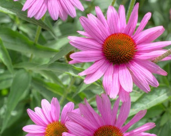 Flower Photography | Fine Art Photography|Photo Print | Flower | Cone Flower | Echinacea | Purple Cone Flower | Fine Art Print