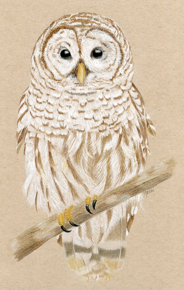 This is a picture of Revered Barred Owl Drawing