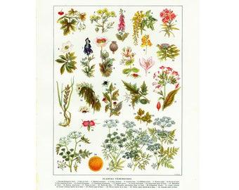 1933 Vintage Poisonous Plants Antique Psychedelic Botanical Chart print. Authentic Framable Art. Larousse
