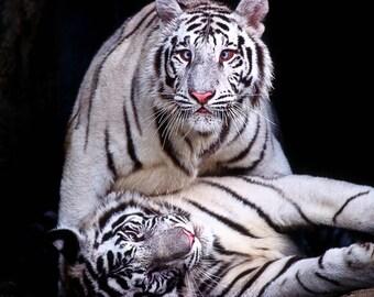 Double Tigers Fine Art Print