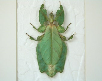 Giant Walking Leaf -Real Framed Insect