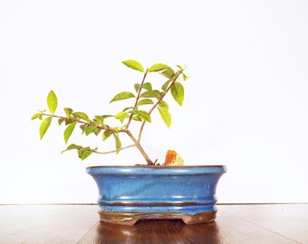 A Barbados Cherry bonsai with Fire Opal Gemstone in a dark blue pot. A flowering bonsai thats easy to care for.
