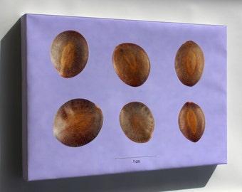Canvas 16x24; Acacia Greggii Seeds