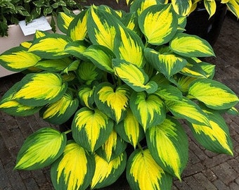 hosta Forbidden Fruit (large) thick leaves