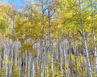 Aspen Colorado, 8x10, Aspen Trees, Fall, Photograph, Fine Art, Wall Art, Gift, Independence Pass, Scenic, Picture, JC Rivers, Print,