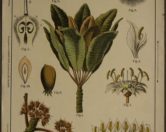Vintage Botanical  Chart  Sheaboom Bassia Parkii Lithograph  School Chart