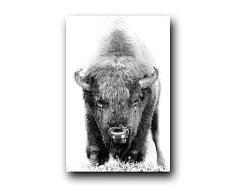 Bison, Buffalo, Bison photo, Buffalo photo, Bison Print, Buffalo Print, Canada Parks, Wild Bison, Wild Buffalo, Elk Island National Park