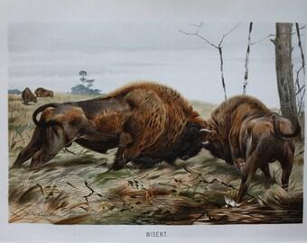 old print bison 1895