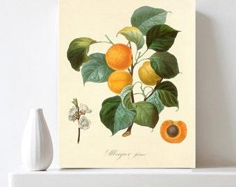 Botanical Fruit Print Apricot Chart Print Vintage Botanical Illustration Printable Wall Decor Apricot Branch Kitchen Decor Digital Download