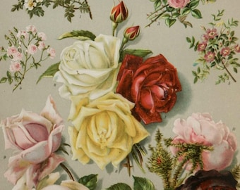 Old Chromolithography.CIRCA 1894.Roses.Types of roses. 9,84 in x 6,03 ins