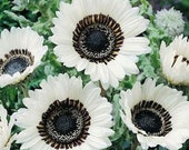 White Monarch of the Veldt Flower Seeds/Venidium Fastuosum/Annual   75+