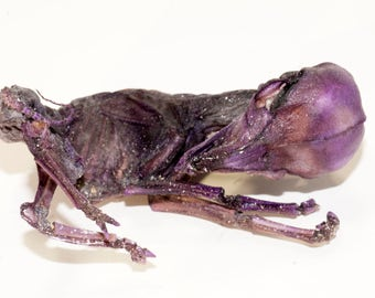 Mummy - Anatomical Specimen - Mummified Sheep Embryo