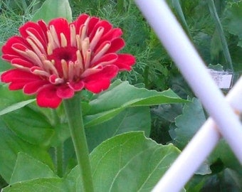 Zinnia assorted mix Fresh