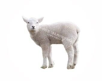 MIT Little Lamb Digital Overlay