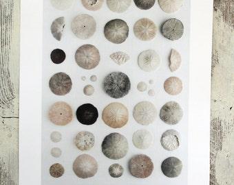 "Naturalist poster  SAND DOLLARS - 13"" x 19"""