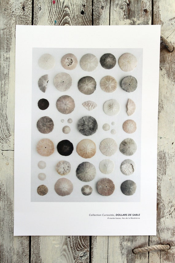 "Naturalist poster  SAND DOLLARS - 13"" x 19"""