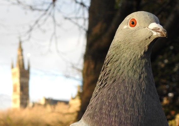 pigeon with university of glasgow in the background