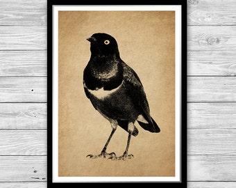 Art print bird vintage style wall art, Bird Antique decoration office decor, Bird illustration vintage art, ornithology print DIA26